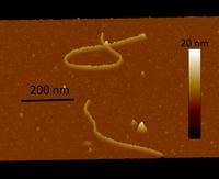 batteriofagi